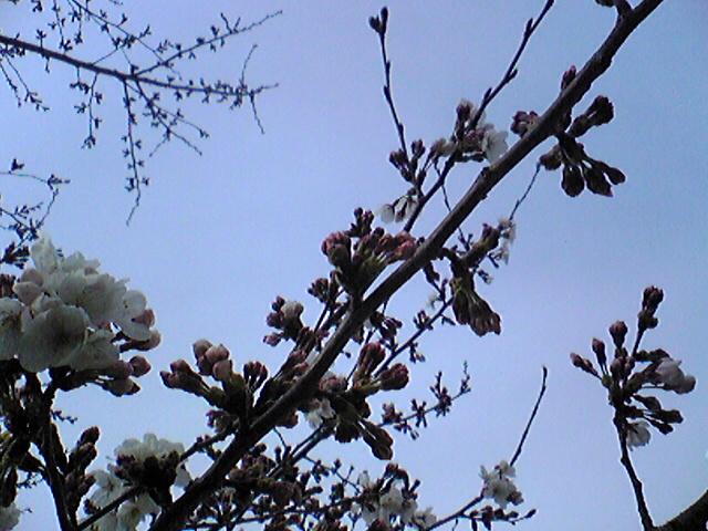 こっちはまだ咲いてない!